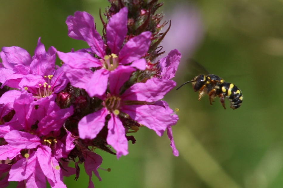 Purple loosestrife and bee