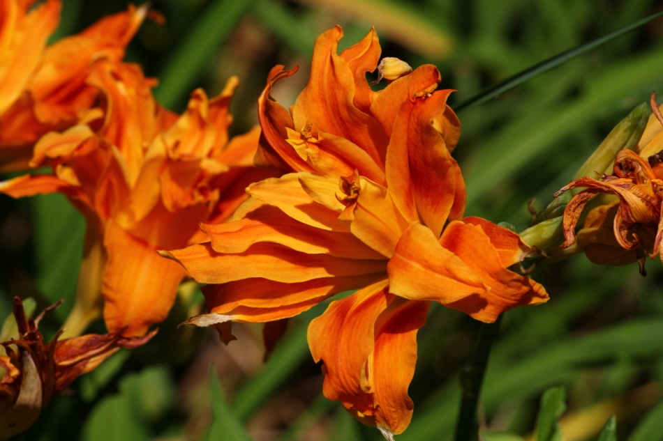 Double tiger lily?