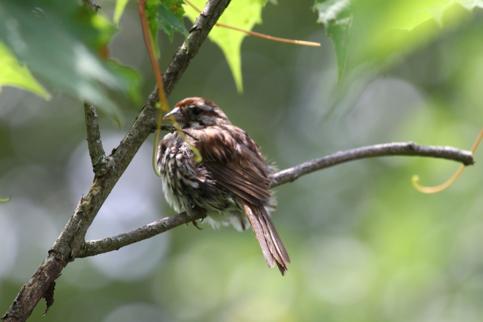 Song sparrow's butt
