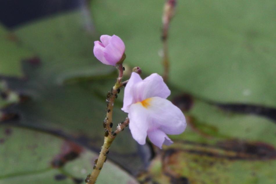 Unidentified purple waterflower