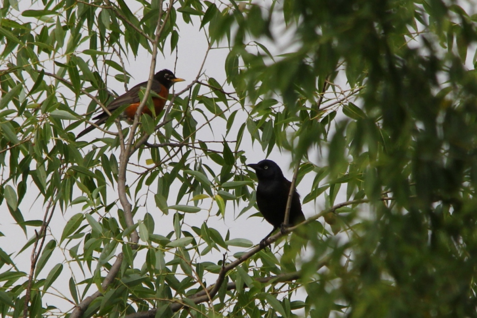 American robin and common grackle