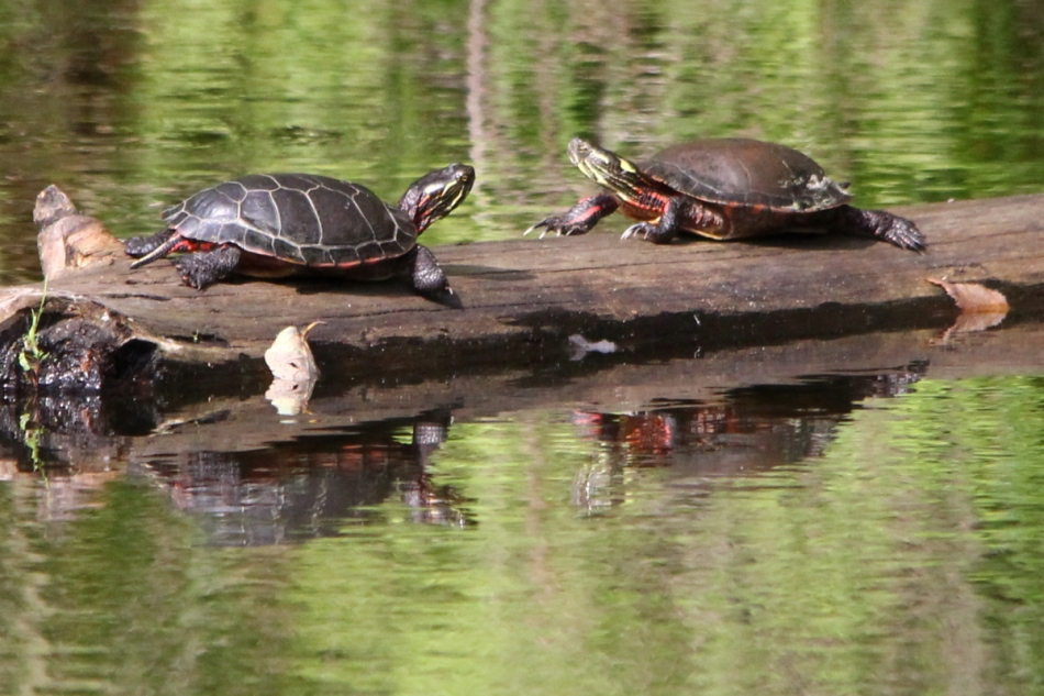 Painted turtles basking on a fine summer day