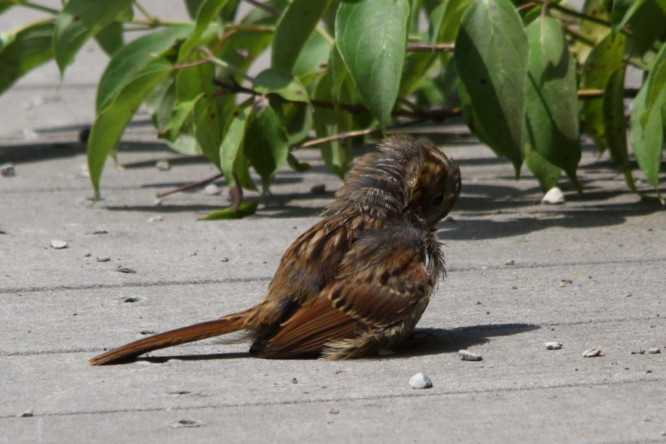 Song sparrow preening