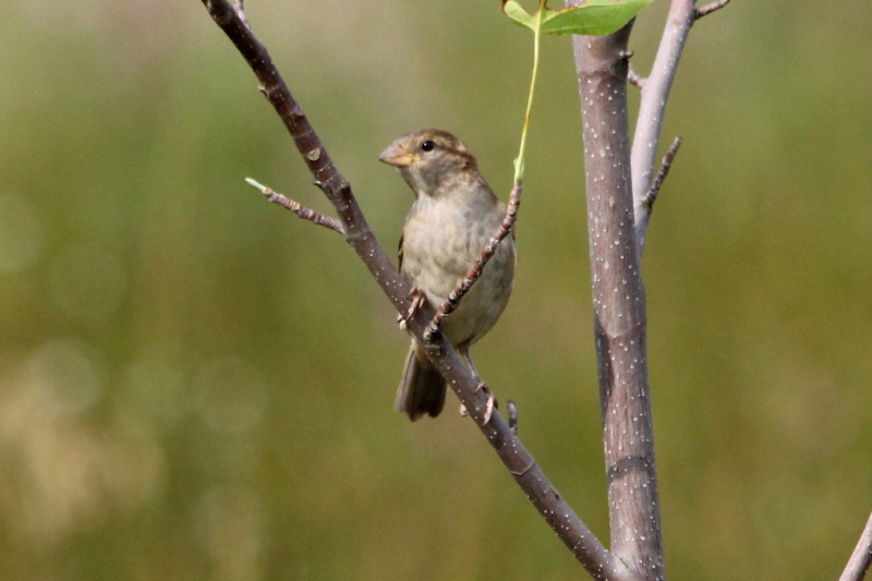 Female English sparrow