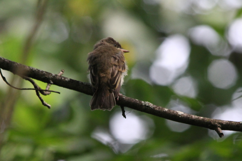Juvenile eastern wood pewee