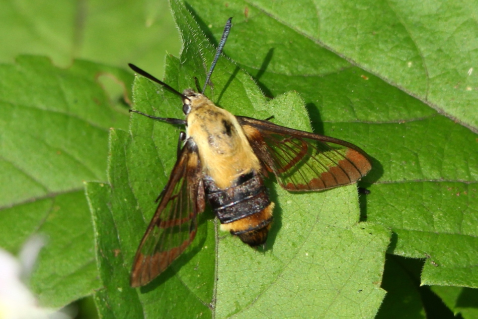 Hummingbird (sphinx) moth