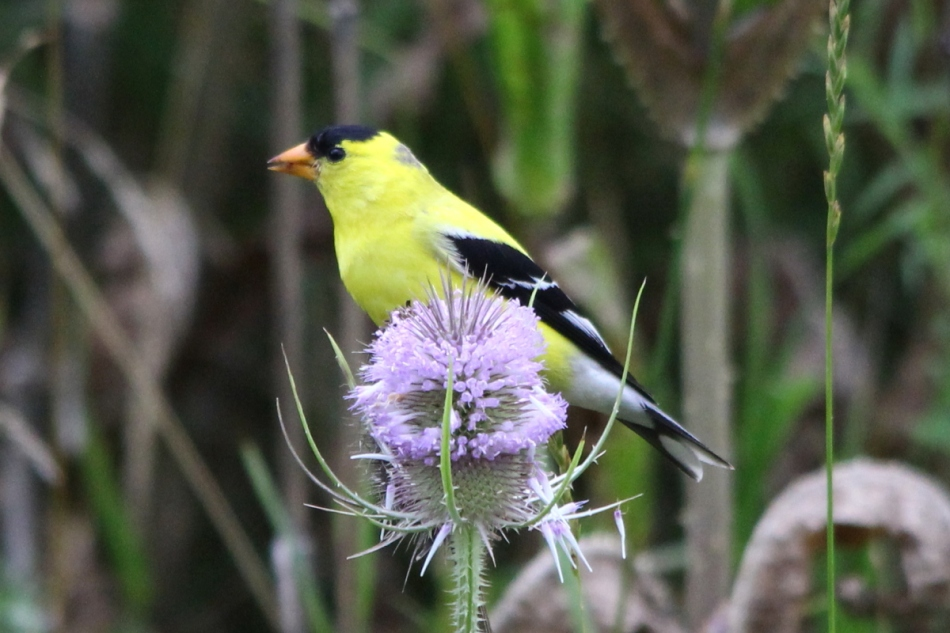 Male American goldfinch eating teasel seeds