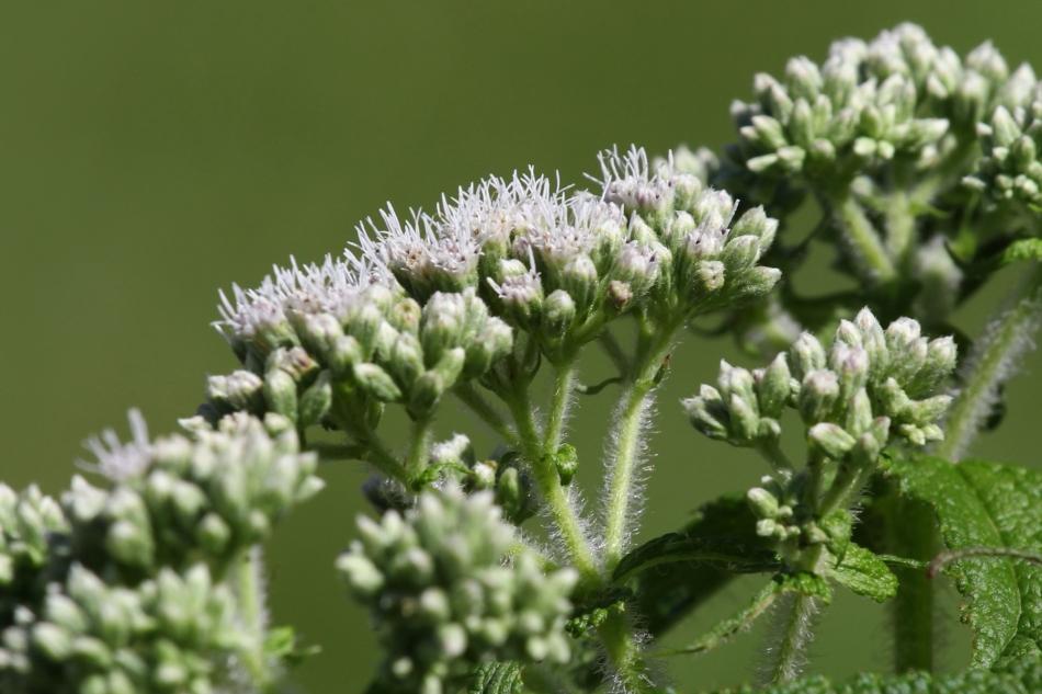 Boneset flower