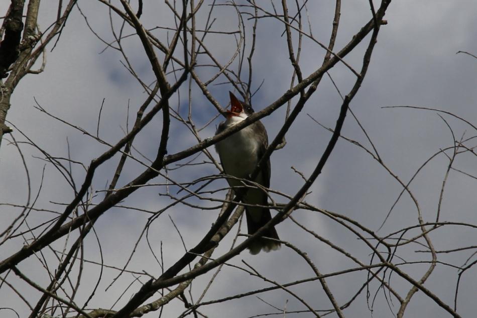 Juvenile eastern kingbird yawning