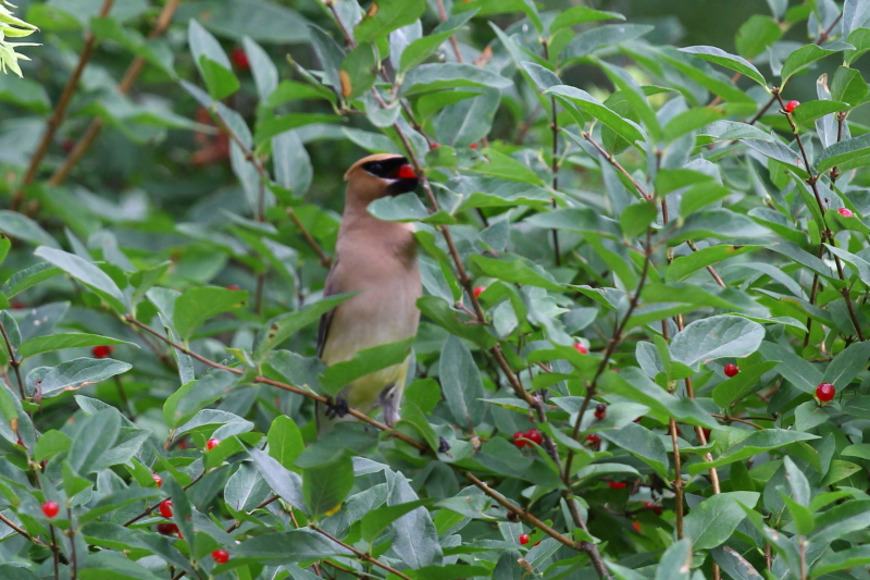 Cedar waxwing plucking a berry