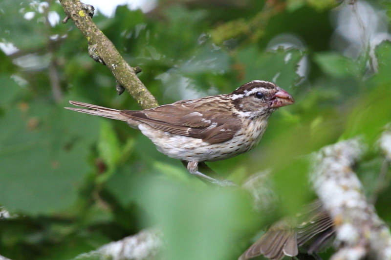 Juvenile rose-breasted grosbeak