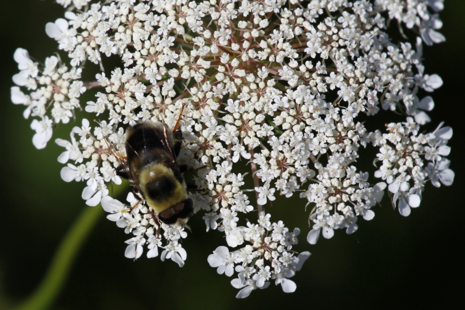 Bee on yarrow