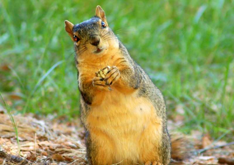 Alabama Leaning Squirrel