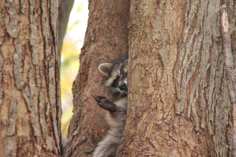 The drunken raccoon waving Hi