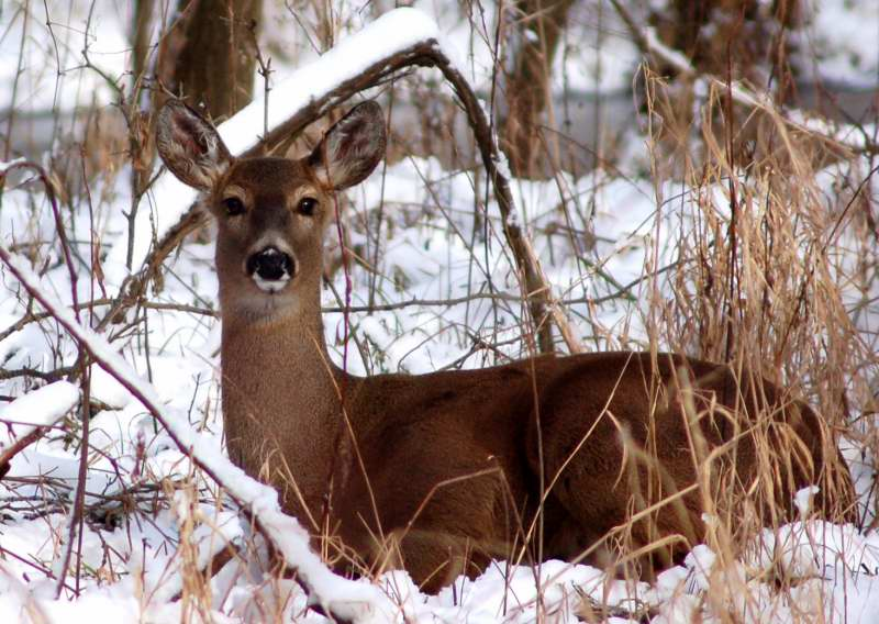 Whitetail doe in snow