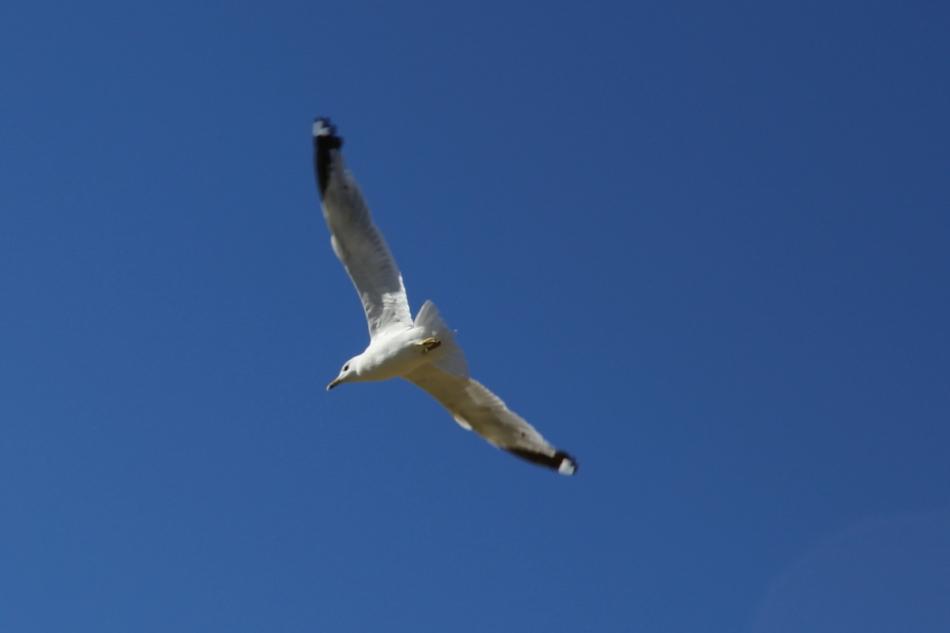 Passing gull