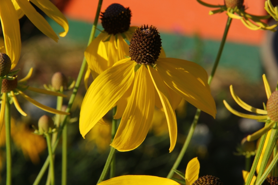 Grey-headed coneflowers