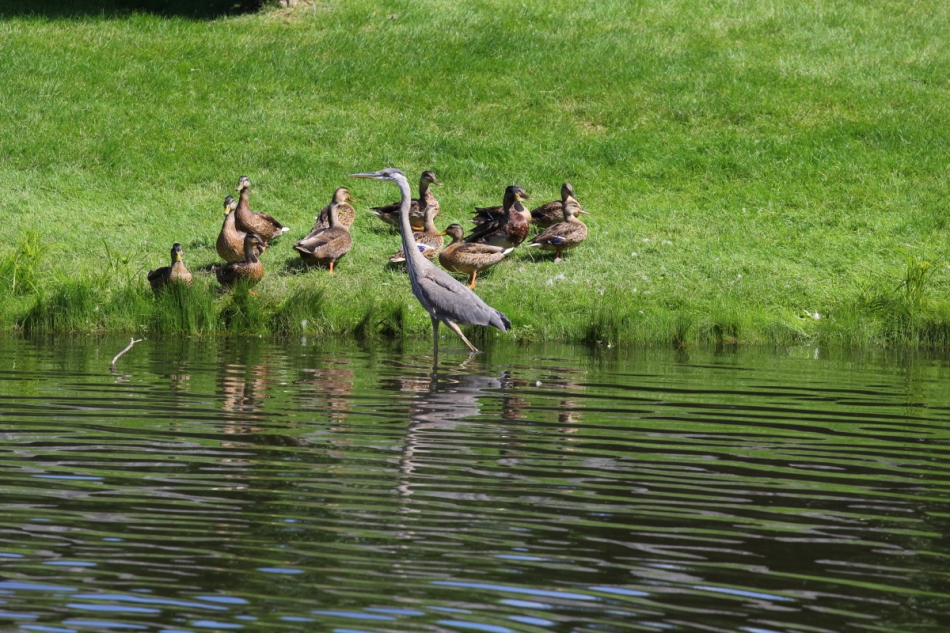 Juvenile great blue heron wading past mallards