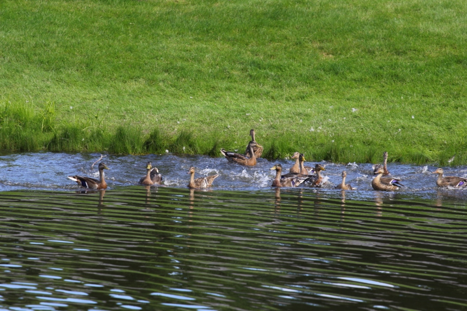 Mallards going for a community swim