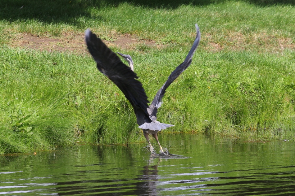 Juvenile great blue heron taking off