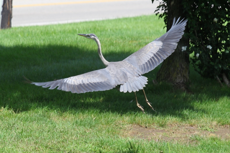 Juvenile great blue heron in flight