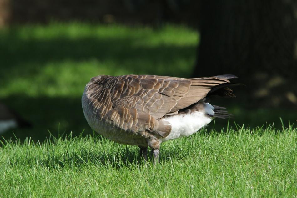 Headless Canada goose