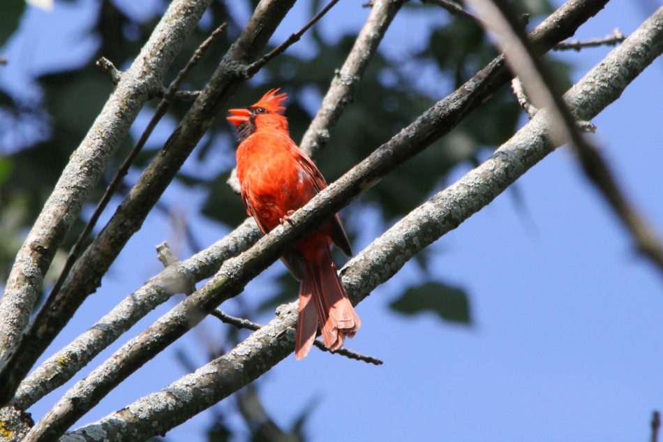 Male northern cardinal singing