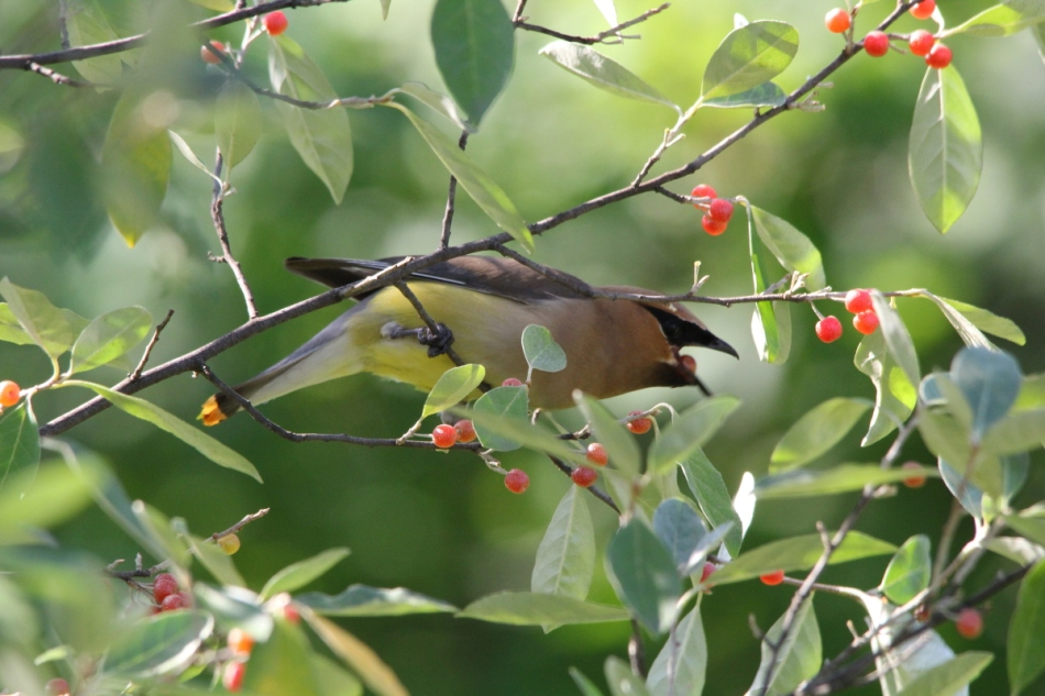 Cedar waxwing swallowing a berry