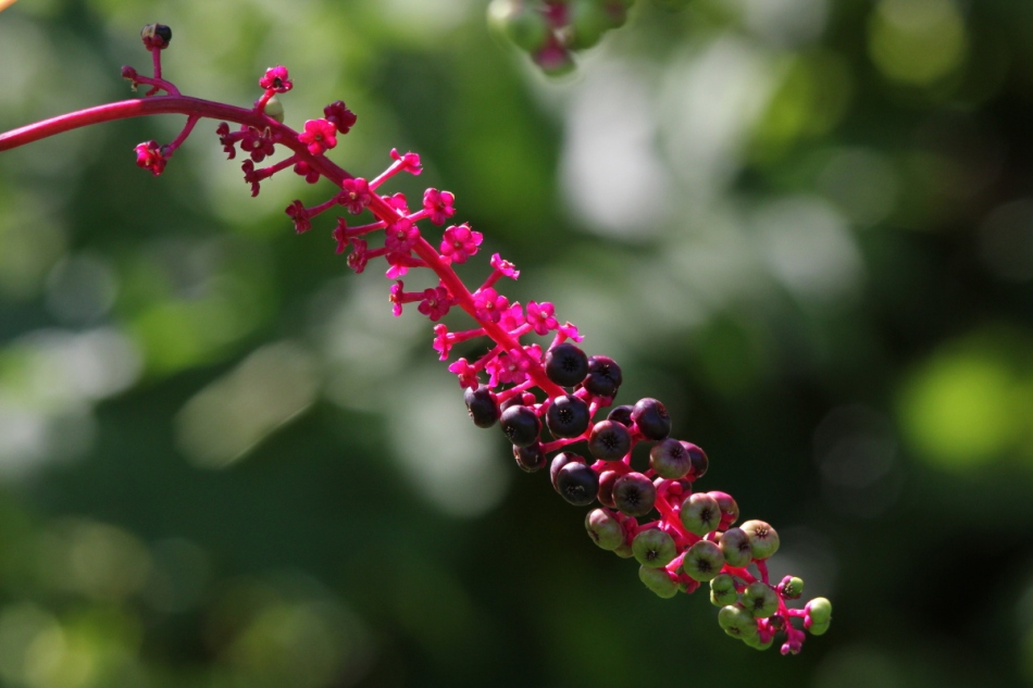 "Pokeweed ""fruit"""