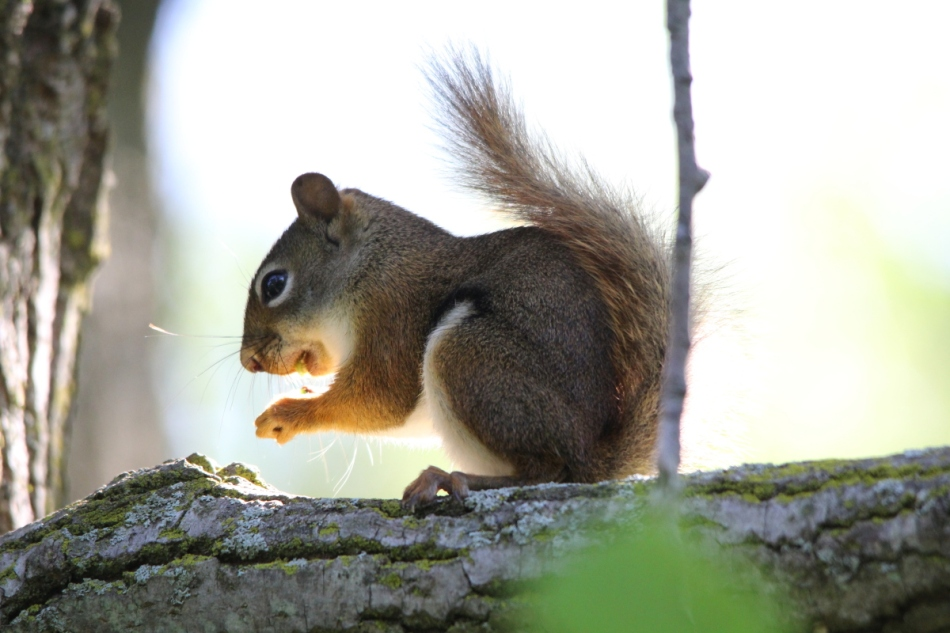 Red squirrel eating berries
