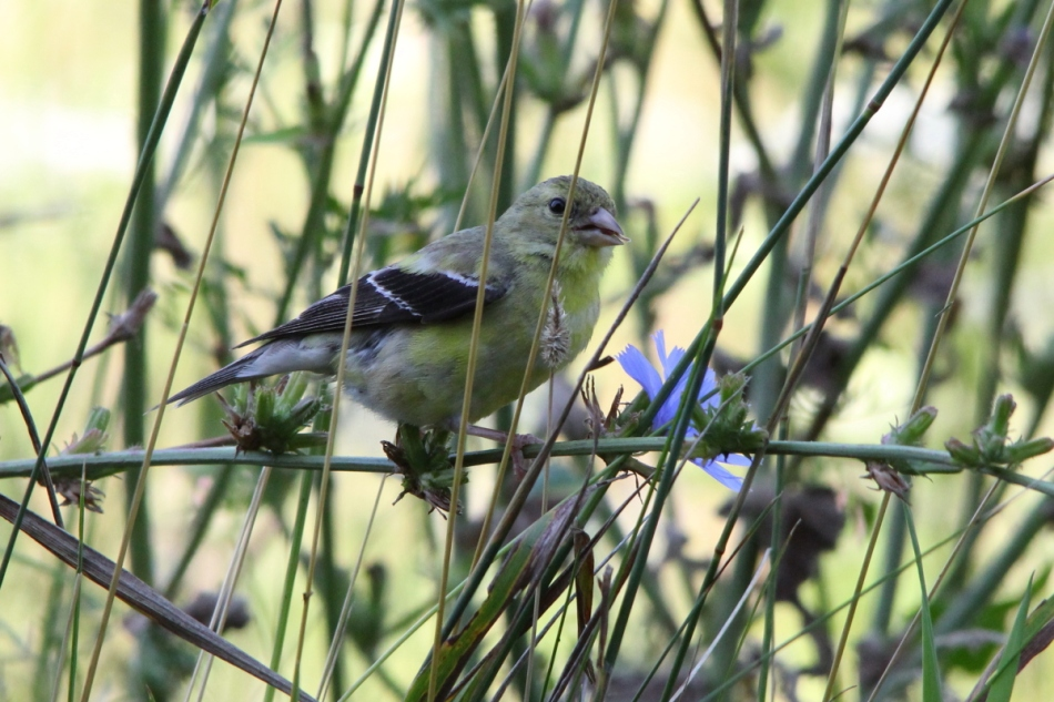 "Female American goldfinch AKA ""The Jailbird"""