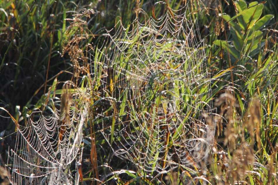 Spiderwebs covered in dew