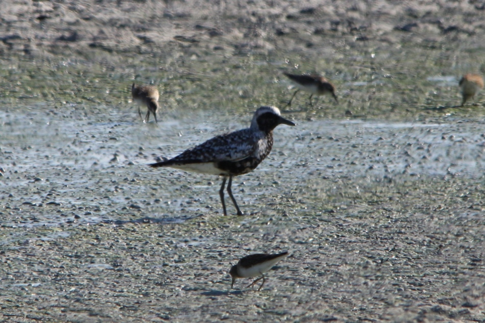 "Black-bellied plover surrounded by ""peeps"""