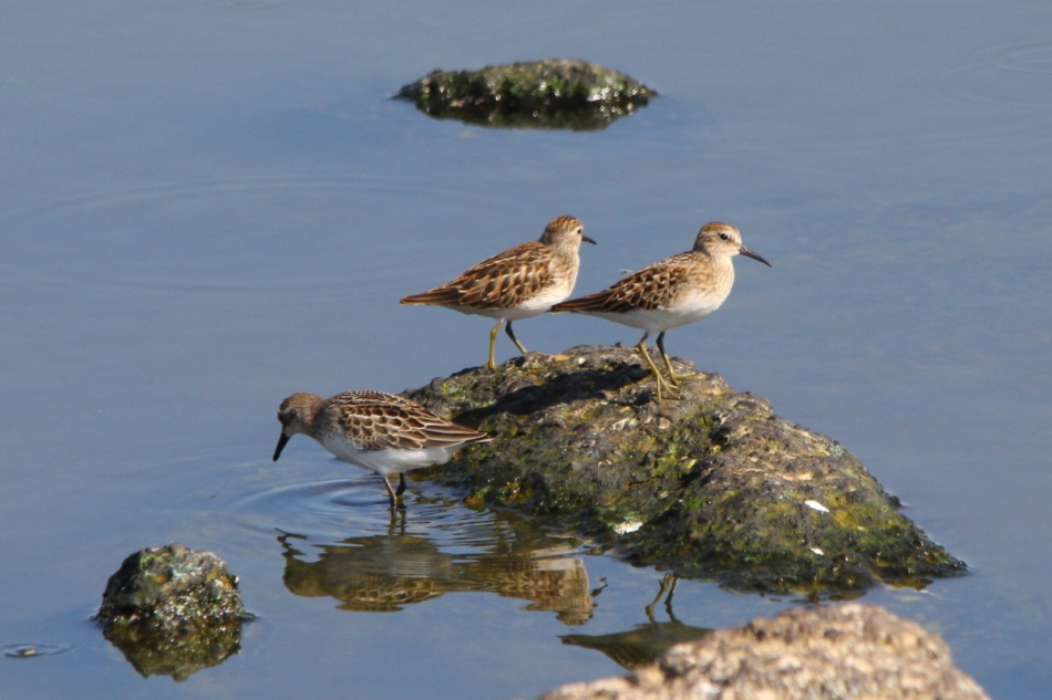 Two least sandpipers and a Baird's sandpiper