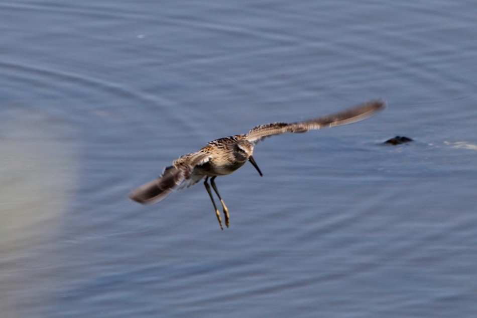 Shorebird in flight
