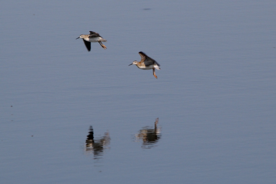 Wilson's Phararopes in flight