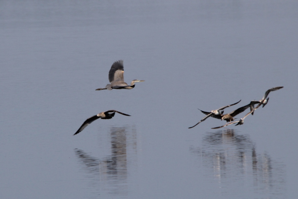 Heron and gull ballet