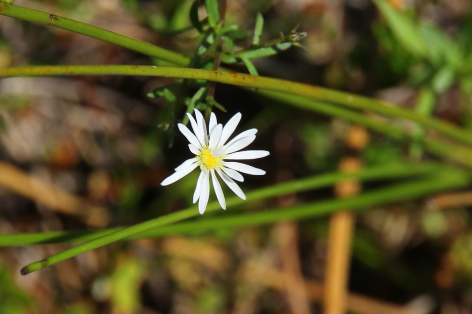 Small aster of some kind?