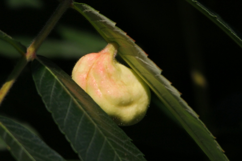 Is this a gall of some kind?