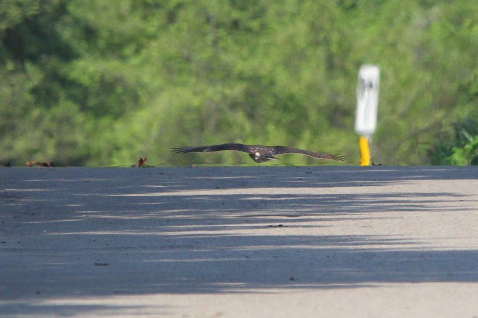 Cooper's hawk in flight