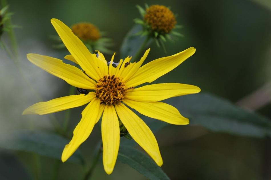 Hairy sunflower?