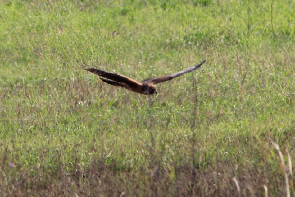 Northern (Hen) Harrier in flight
