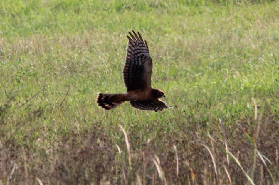 Northern (Hen) Harrier in flight