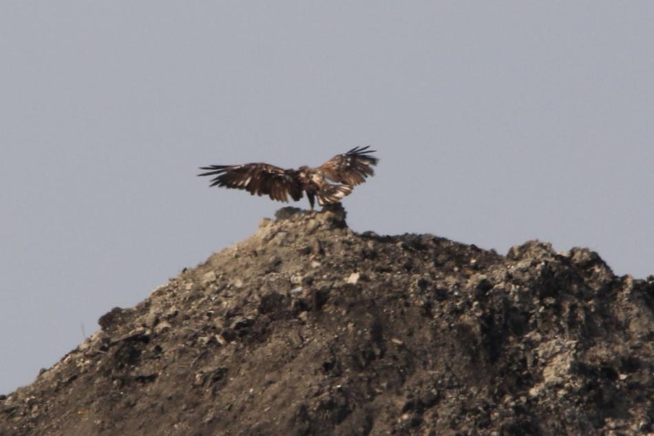 Juvenile bald eagle landing
