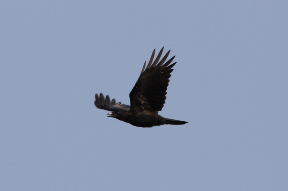 Laughing crow