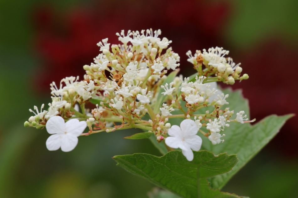 Highbush cranberry flowers