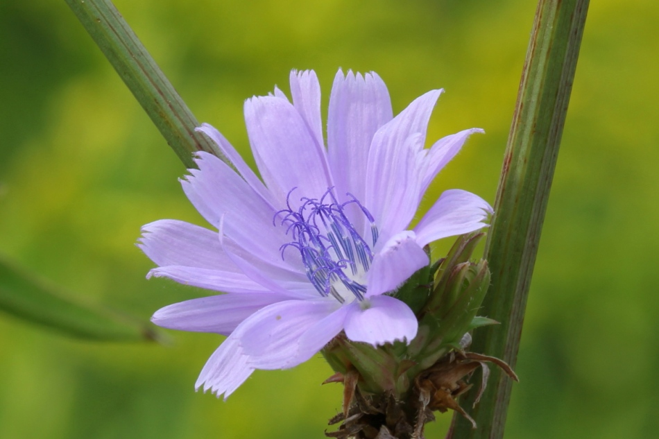 Almost pink chicory