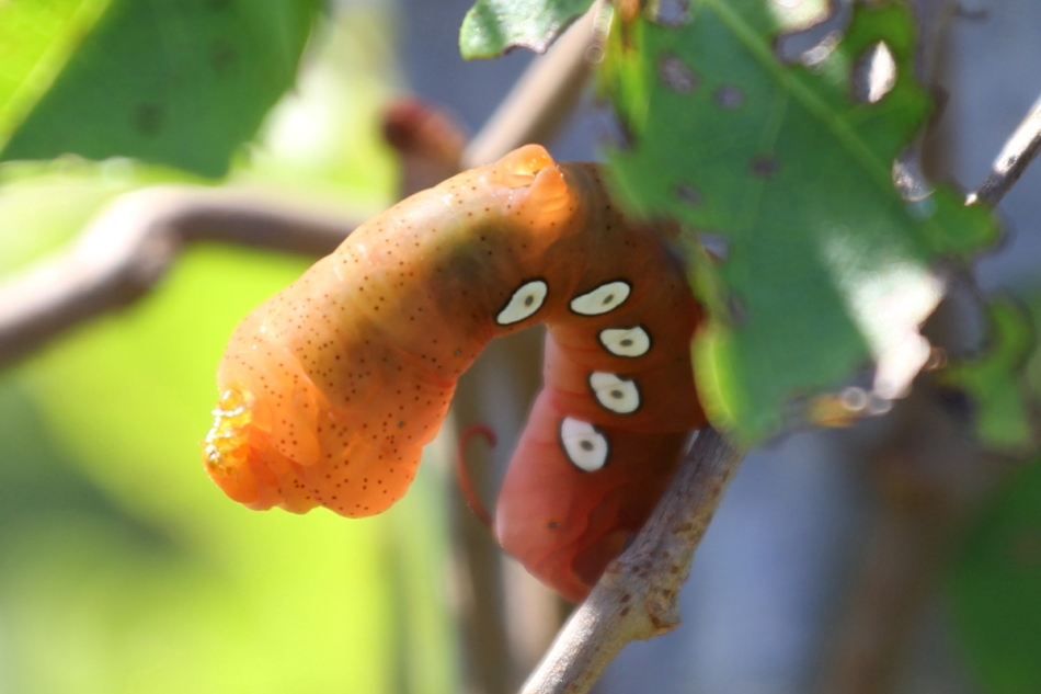 Caterpillar entering the pupal stage