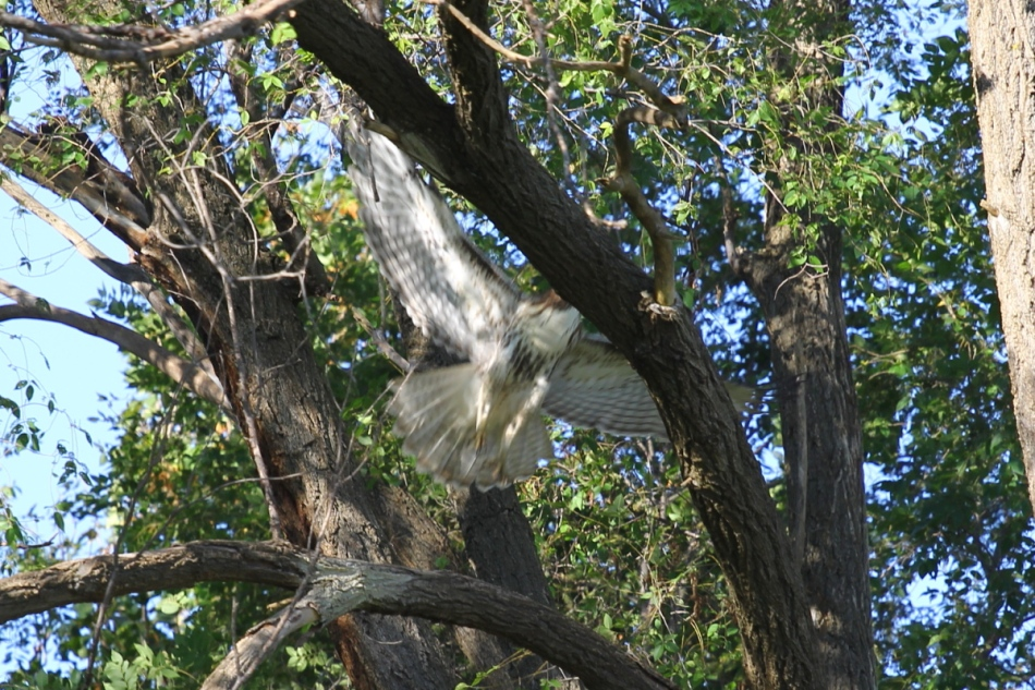 Headless Juvenile red-tailed hawk leaping into flight