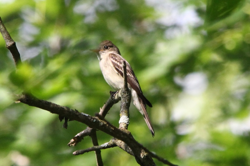 Eastern Wood Pewee